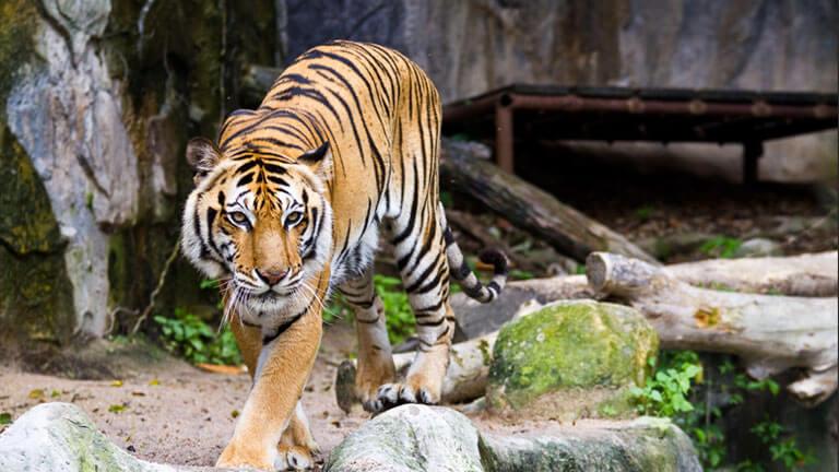 Un tigre posando dentro de la exhibición de animales exóticos en el Lincoln Park Zoo